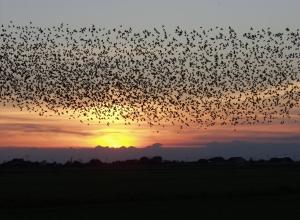 bird flock wiki
